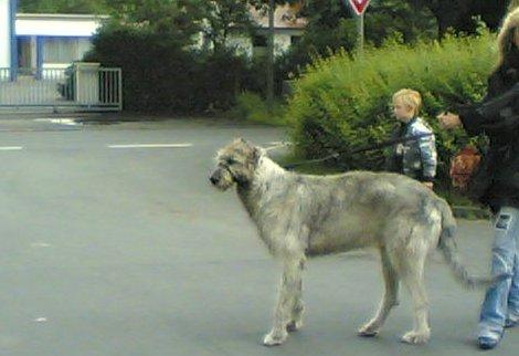 Riesiger Hund