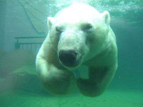Eisbär frontal