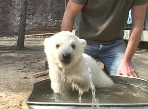 Eisbär badet