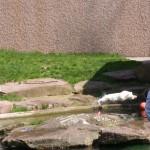 Flocke beim Sprung ins Wasser