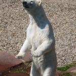Eisbärmama will mehr Futter