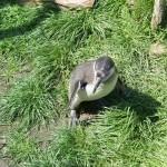 Verdutzter Pinguin
