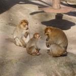Affen nachdem ein Besucher einem eine Gurke hingeworfen hat